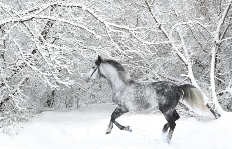 Gray della macchia del cavallo di dressage dell'Holstein con la briglia fotografie stock libere da diritti