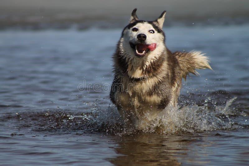 Gray dog breed Siberian husky in the lake stock photos