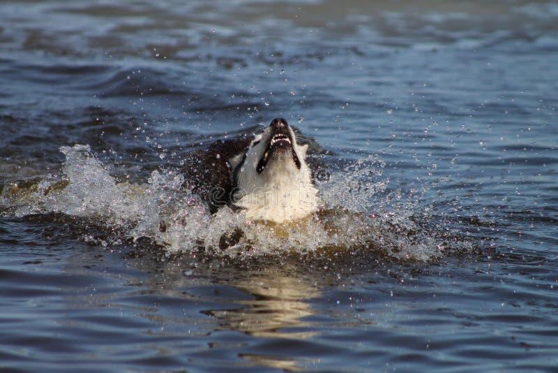 Gray dog breed Siberian husky splashing in the water, splashing around stock photography