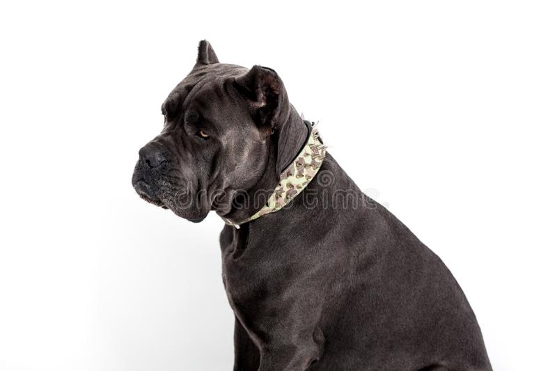 Dog on a white background. Gray dog Kenne Corso breed isolated on white background stock photography