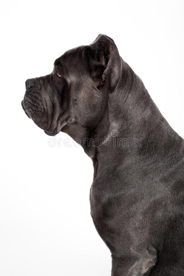 Dog on a white background. Gray dog Kenne Corso breed isolated on white background royalty free stock images