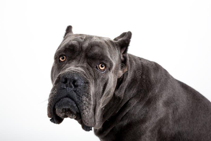 Dog on a white background. Gray dog Kenne Corso breed isolated on white background royalty free stock image