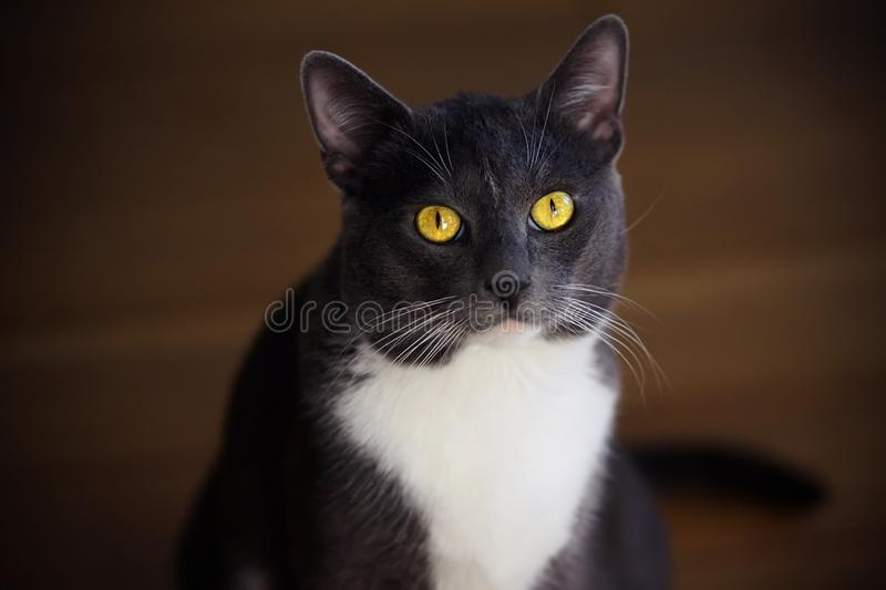 Gray domestic cat with bright yellow eyes stock photography