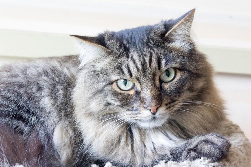 gray domestic cat royalty free stock photo