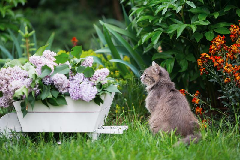Gray domestic cat and spring lush lilac flowers bouquet in white wooden decorative wheelbarrow in backyard garden stock images