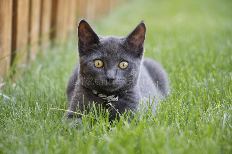 Gray Domestic Short Hair Kitten Sitting in Grass Looking at Camera stock image