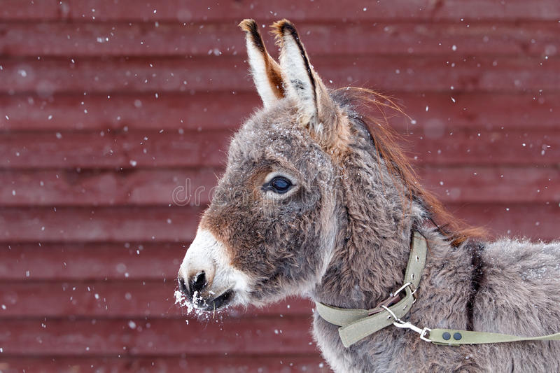 Download Gray Donkey Stock Photography - Image: 28139142