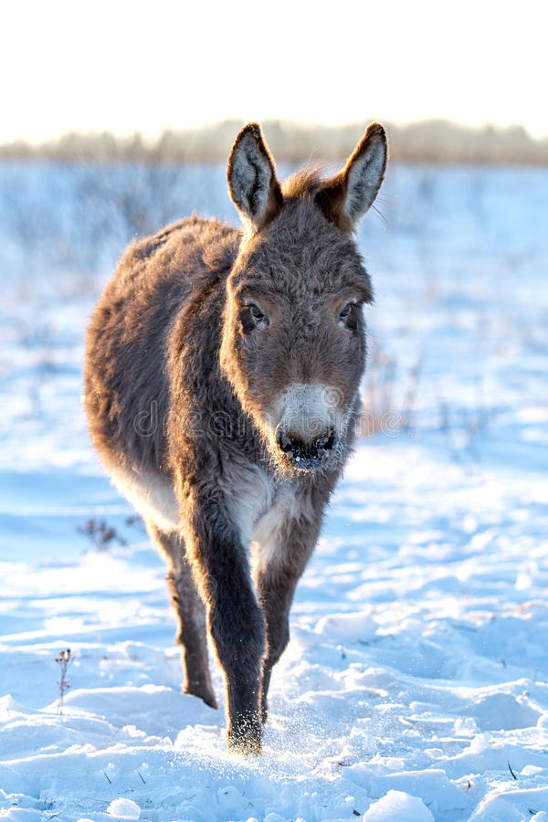 Download Gray Donkey stock image. Image of winter, yeared, small - 28364973