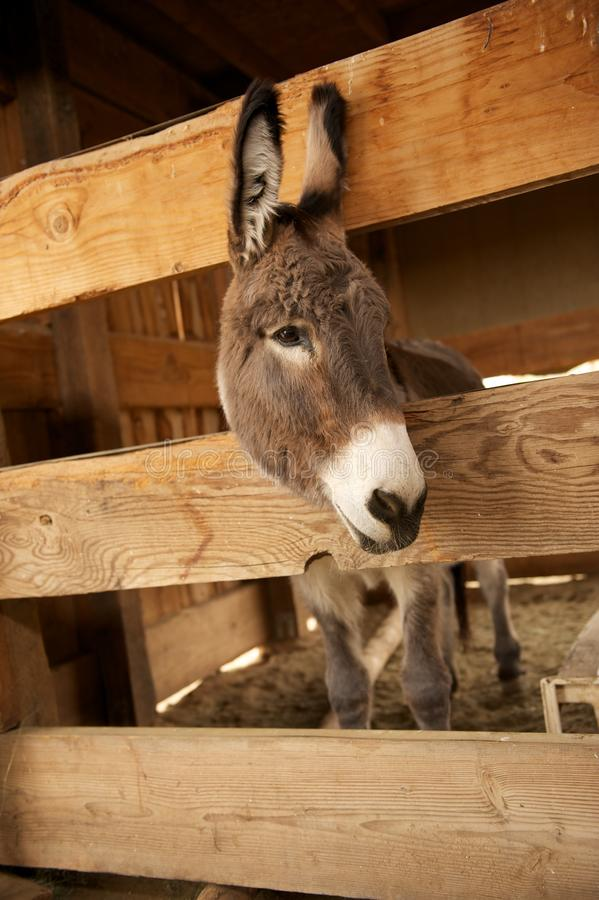 Download Gray Donkey In A Wooden Pen Stock Photo - Image: 20291906