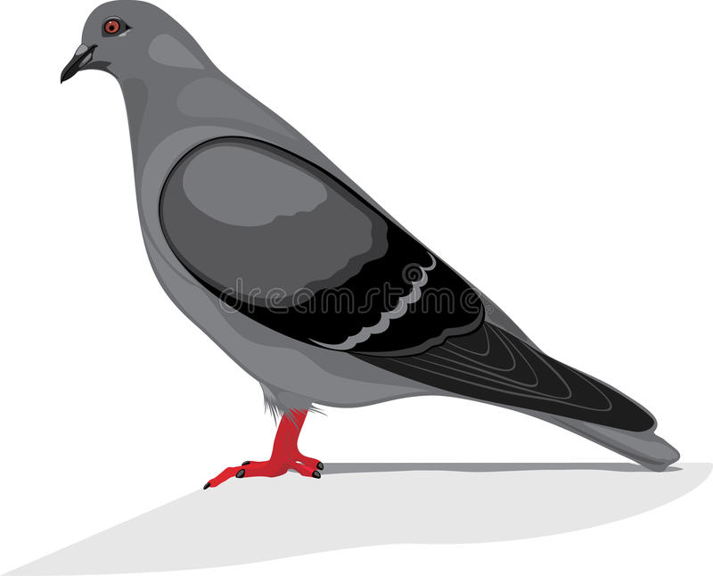 Download Gray dove stock image. Image of freedom, feathers, pigeon - 40465273