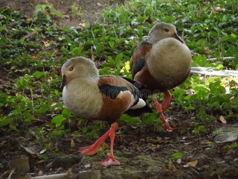 Gray_ducks royalty free stock photography