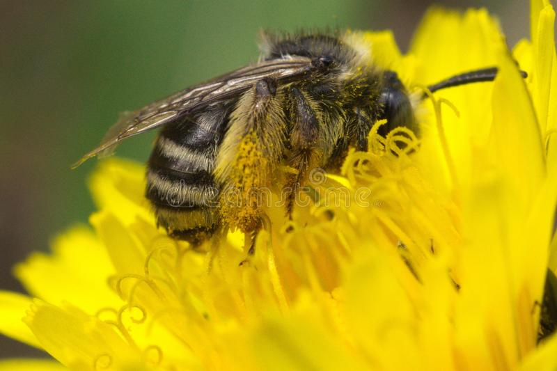 Gray Dying Bee Pollen Covered stock photography
