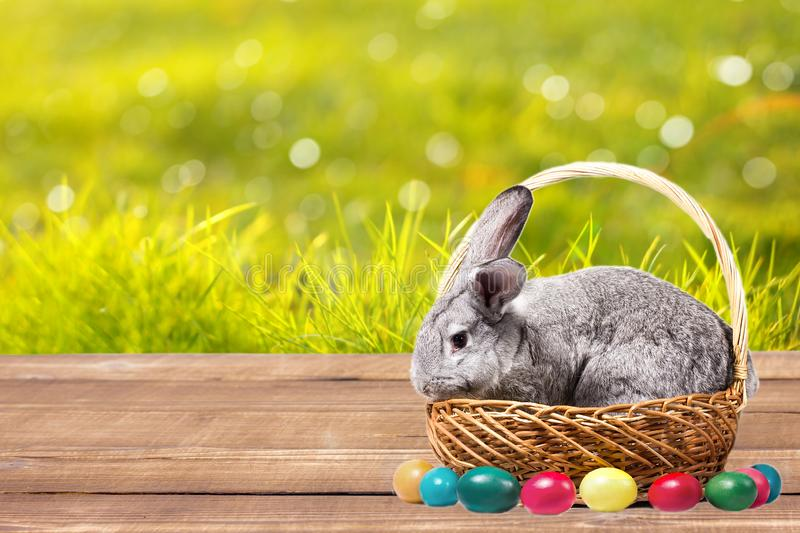 Gray easter rabbit in a basket with eggs on a wooden table, goat with a rabbit outdoors royalty free stock photo