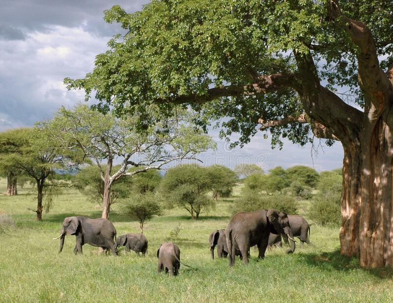 Gray Elephant Herd Under Green Tree on Green Grass Fields during Daytime royalty free stock image