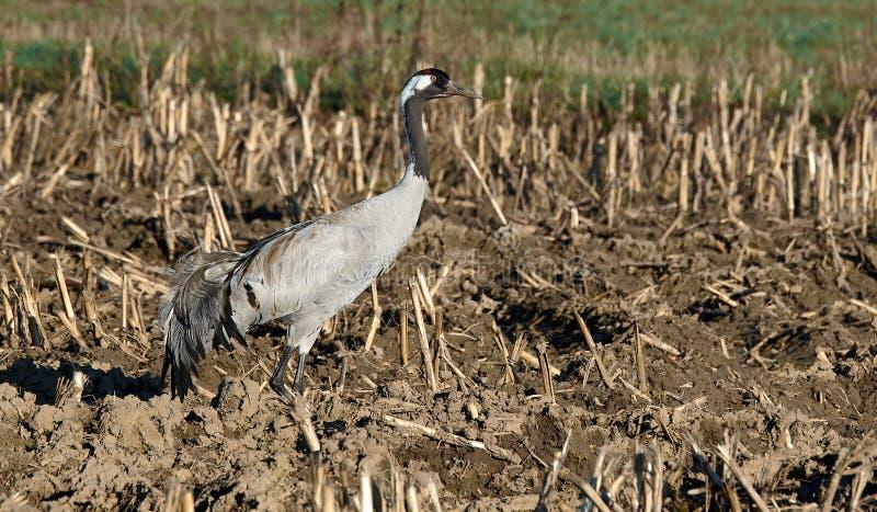 Gray europian crane bird staying alone royalty free stock image