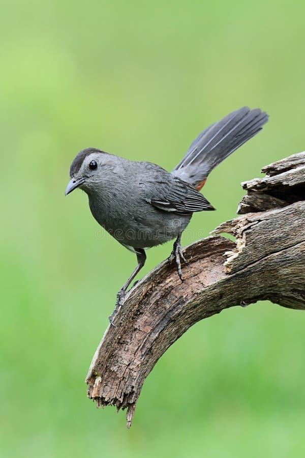 gray för dumetella för filialcarolinensiscatbird arkivfoto