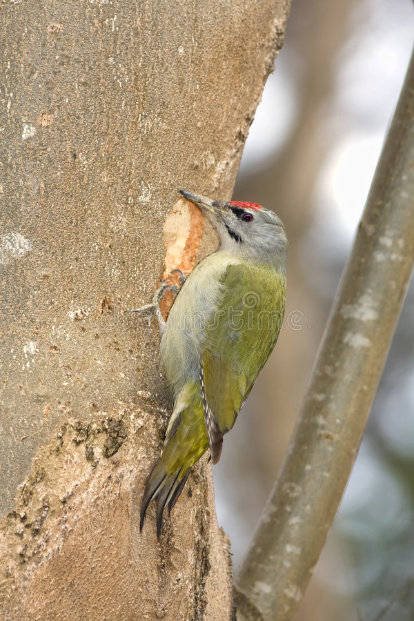 Gray faced woodpecker stock images