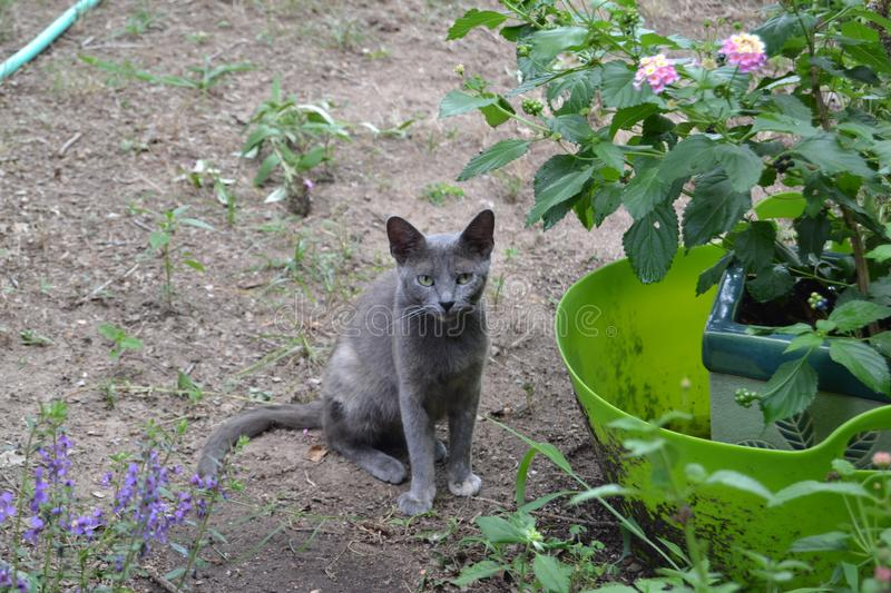 A gray feral kitten in the garden. A feral gray kitten stands in the garden with flowers stock image