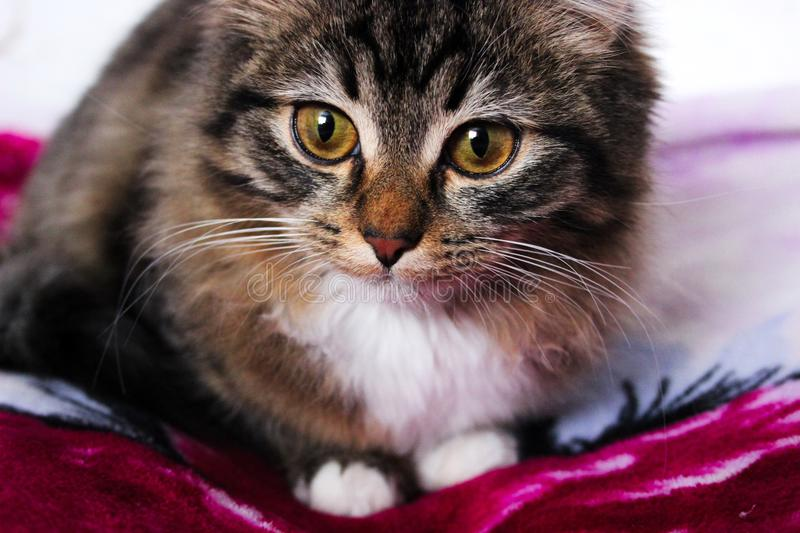Gray fluffy cat with large green eyes royalty free stock images