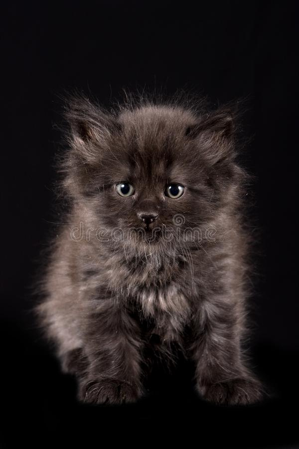 Gray fluffy kitten stock images