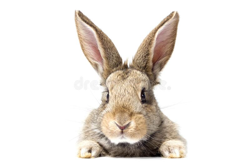 Gray fluffy rabbit looking at the signboard. Isolated on white background. Easter bunny royalty free stock photography