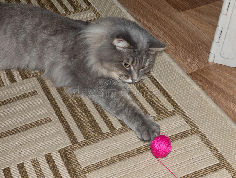 Gray fluffy siberian cat playing with ball of yarn. Gray fluffy siberian cat playing with magenta ball of yarn. Active pet catch the toy stock photos