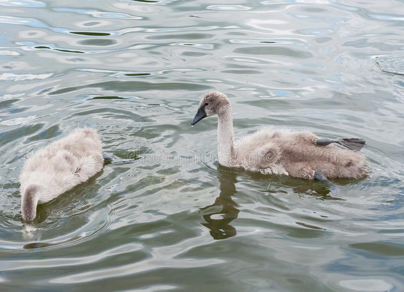 Gray fluffy swan Cygnus olor chicks at the lake`s surface learn to swim and feed. stock photos