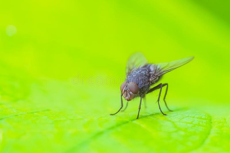 Gray fly insect on the bright green leaf in nature close-up royalty free stock photography