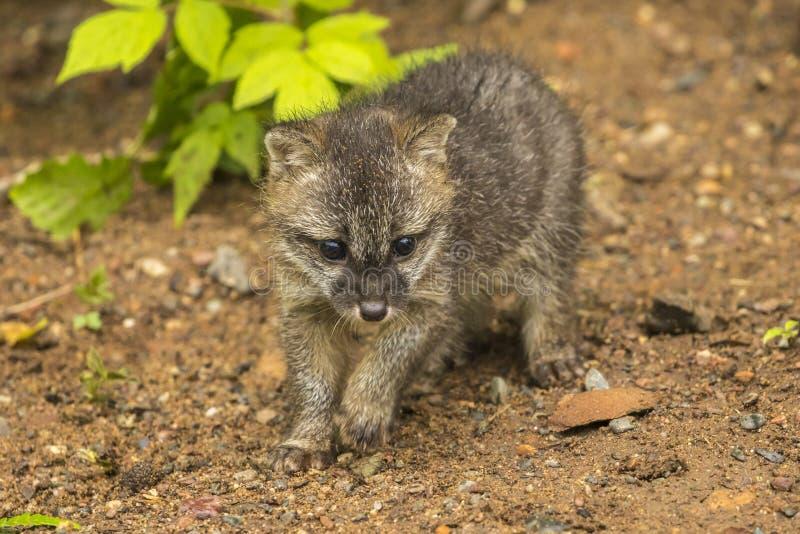 Gray Fox Pup imagem de stock