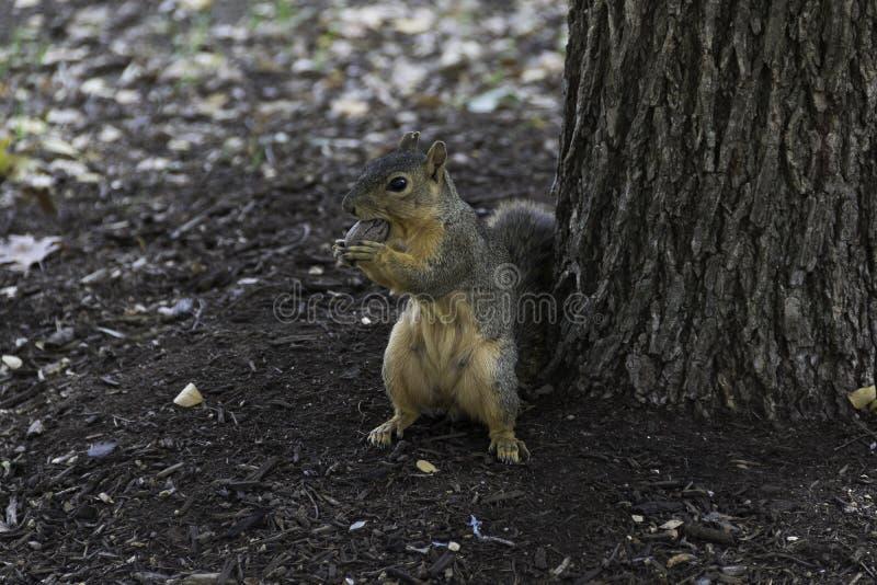 Gray Fox Squirrel med att rymma en mutter royaltyfri bild