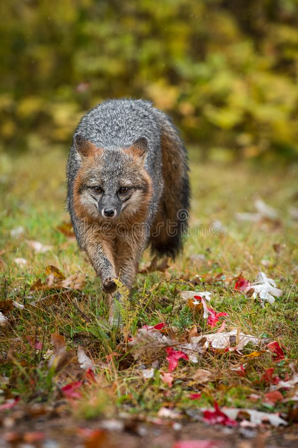 Gray Fox Urocyon cinereoargenteus Runs Forward Rain Herbst lizenzfreie stockfotos