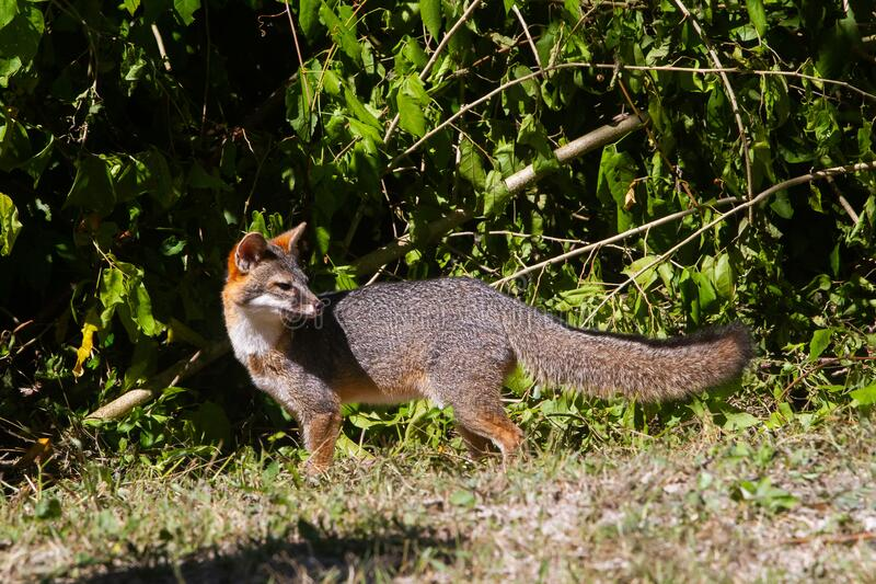 Wildlife: A Gray Fox seen in the wild in Guatemala. A Gray Fox Urocyon cinereoargenteus is seen on the El Zotz La Palotada Natural Reserve, in Petén, Guatemala royalty free stock photography