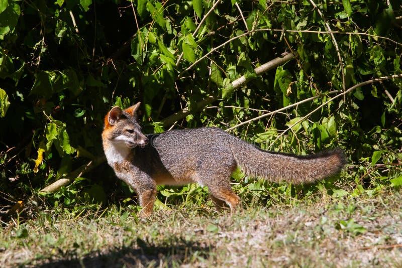 Wildlife: A Gray Fox seen in the wild in Guatemala. A Gray Fox Urocyon cinereoargenteus is seen on the El Zotz La Palotada Natural Reserve, in Petén royalty free stock photography