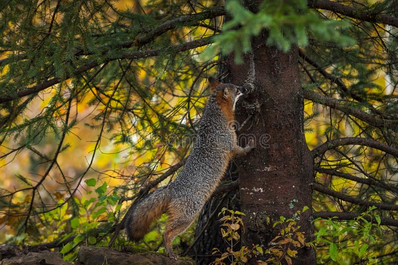 Gray Fox Urocyon cinereoargenteus Sniffs Up Baumherbst stockfotos