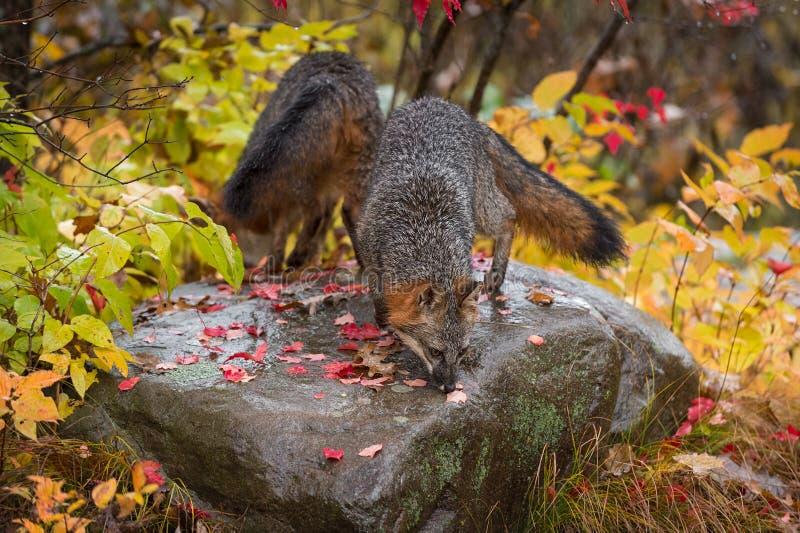 Gray Foxes Urocyon cinereoargenteus Sniff over Atop Rock Autumn stock afbeelding