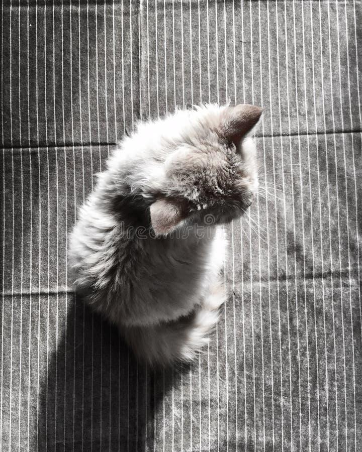 Gray Fur Cat stock photos