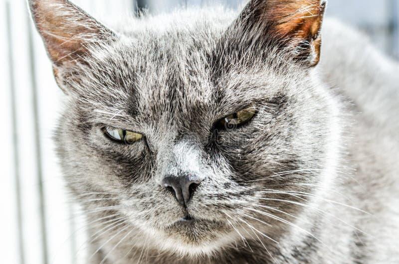 Gray Fur Coated Cat Free Public Domain Cc0 Image