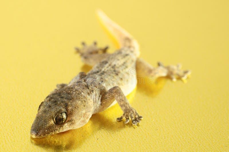 Gray Gecko Lizard lizenzfreies stockbild