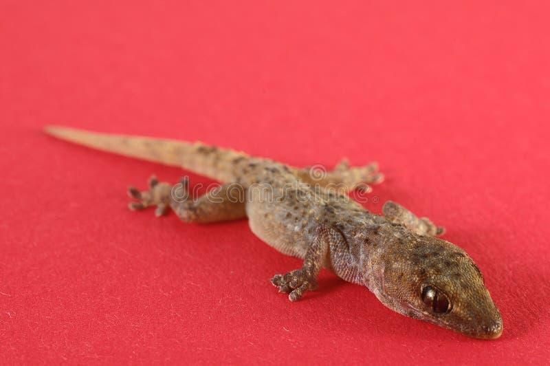 Gray Gecko Lizard images stock