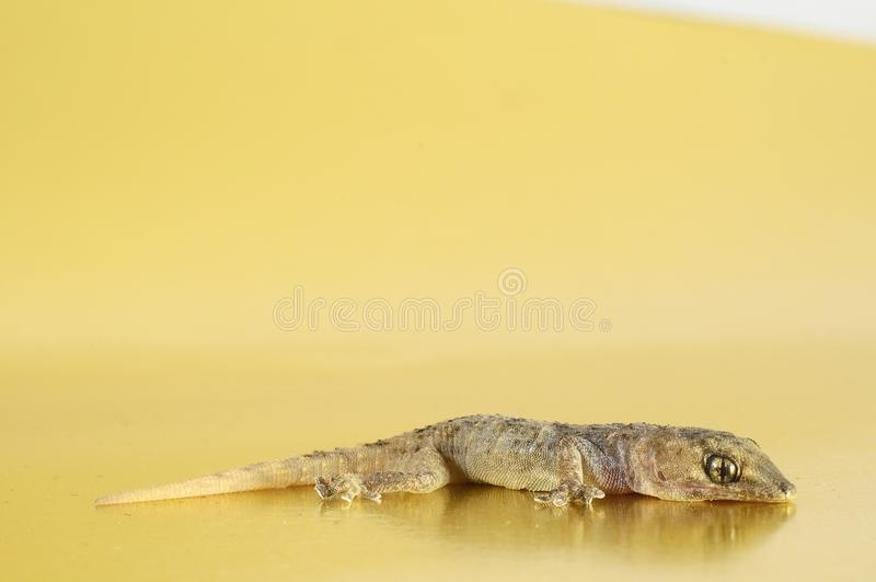 Gray Gecko Lizard photographie stock