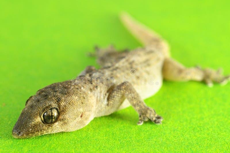 Gray Gecko Lizard image libre de droits