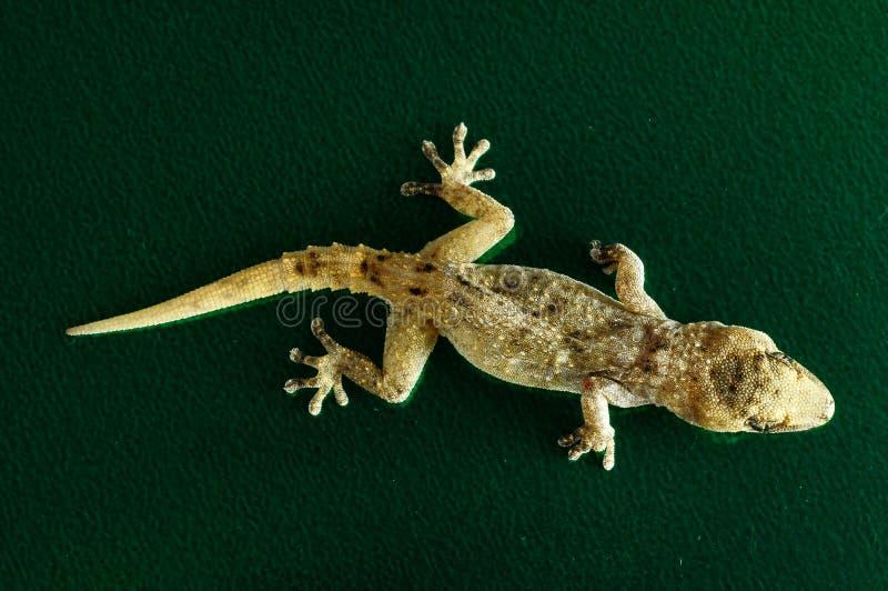 Gray Gecko Lizard photo libre de droits