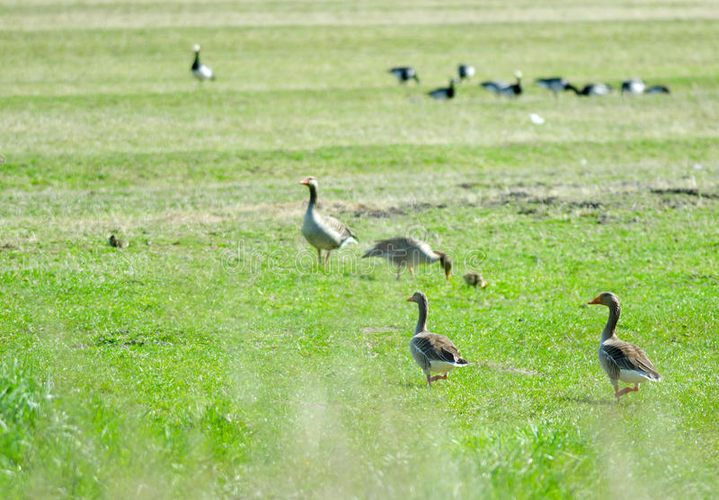 Download Gray Geese stock photo. Image of grass, nature, land - 25492190