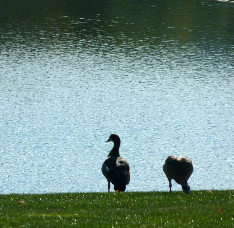 2 geese stand in the grass on the lake shore. Gray geese couple on the shore, Anser anser, Lakeshore with grass and 2 waterfowls, peaceful picture at the lake stock image