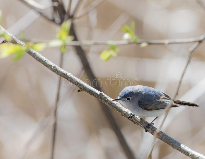 Gray Gnatcatcher azul fotografia de stock