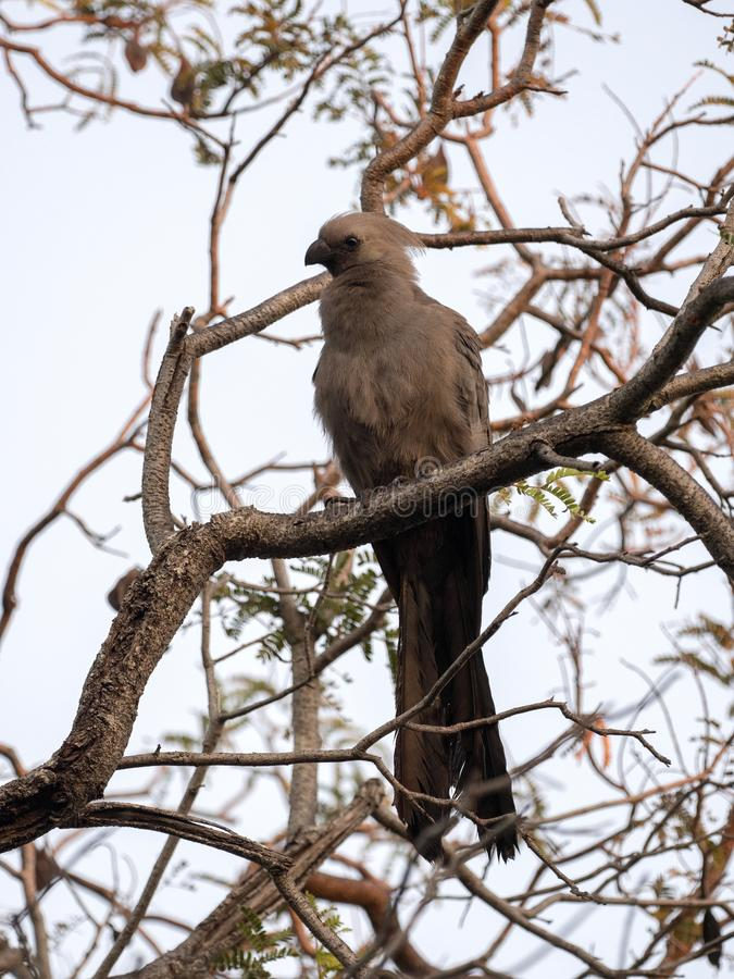 Gray go-away-bird, Corythaixoides concolor, is fairly common, Botswana royalty free stock images