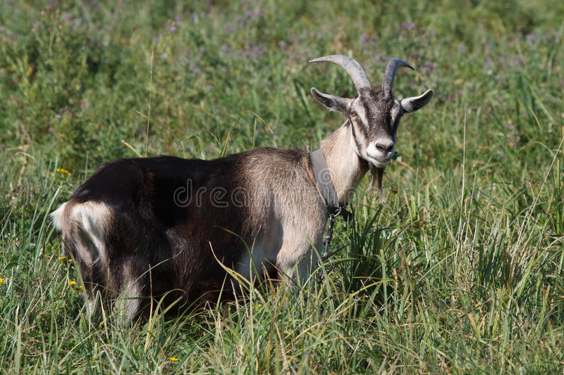 Download Gray Goat Standing In The Green Grass Stock Photo - Image of black, country: 33238620