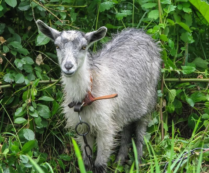 Gray goat with wool wet after rain. Young gray goat with wool wet after rain, with a leather collar tied with a chain, on a background of green bushes and grass royalty free stock photography