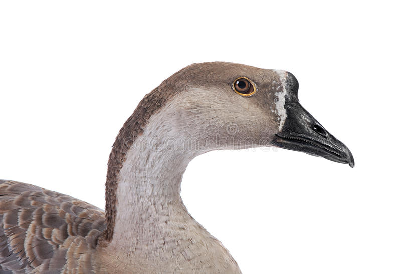 Download Gray goose stock photo. Image of goose, poultry, image - 33721330