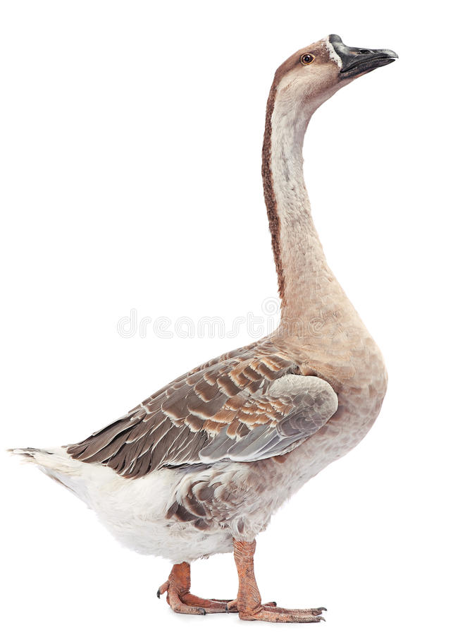 Download Gray goose stock image. Image of image, photography, animal - 34462313